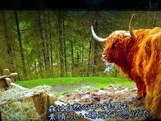 番組の一コマ:ステーファノのペットである牛